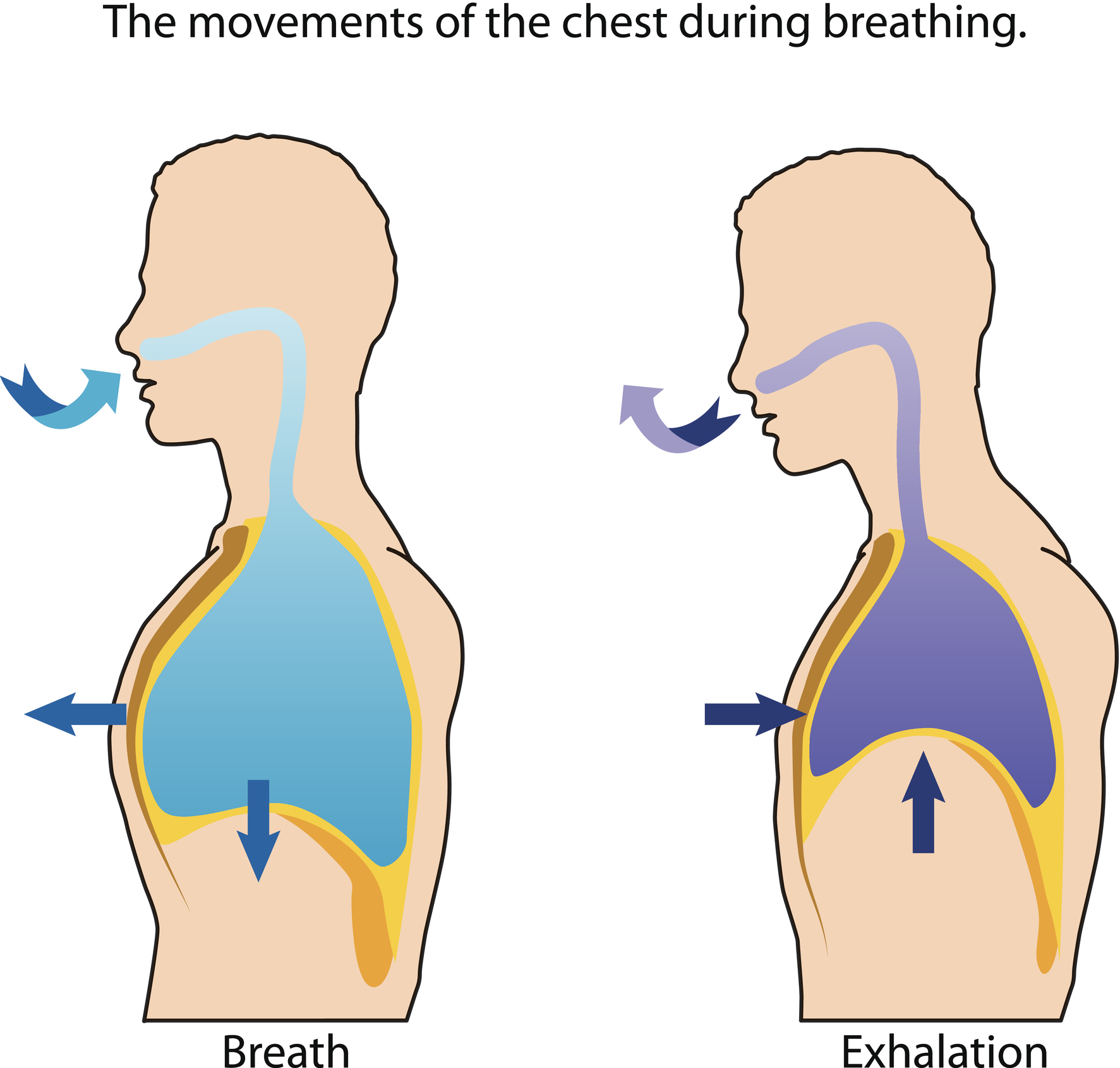 Image: the movements of the chest during the breathing cycle