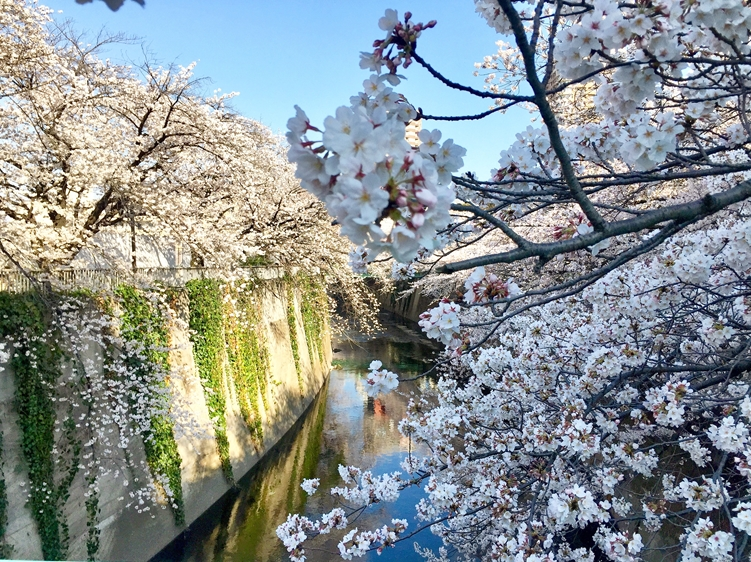 Kanda River Walk, Japan | Sakura flower cherry blossoms